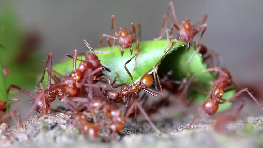 Leaf Cutter ants cutting leaves and fighting over the bounty in the Peruvian Amazon