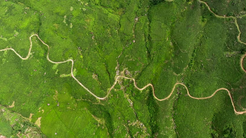 Aerial shooting from flying drone of a beautiful green plantation in tropical Asian countryside in summer season. Fields with the cultivation of coffee or tea in Malaysia