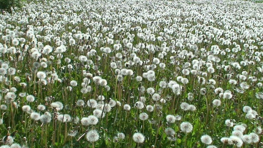 Field of dandelion (Sow-thistle) plants 1