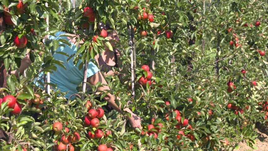 BETUWE, THE NETHERLANDS - SEPTEMBER 2016: Apple picker at work in fruit orchard on dwarfing rootstocks, harvesting ripe elstar apples - medium shot.