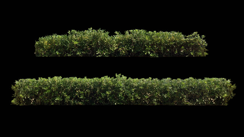 2 beautiful decorative hedge, long and short, real shot green shrub blowing on the wind, isolated on alpha channel with black/white luminance matte, perfect for digital composition, projection mapping
