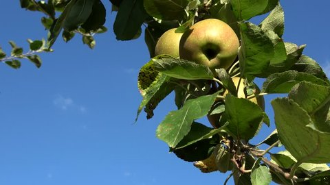 Apple tree branch with red and green apples hanging in tree low hanging fruit almost ripe green and red color also showing green leaves and through them a crips blue sky in the background 4k quality