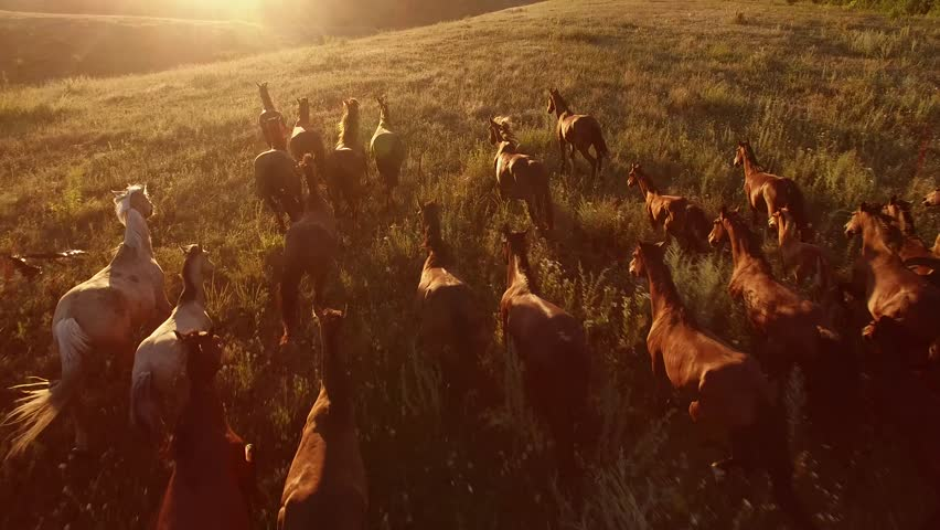 Horses are galloping. Aerial view of moving horses. We are the wild force. Home is where freedom dwells.   Shutterstock HD Video #19685506