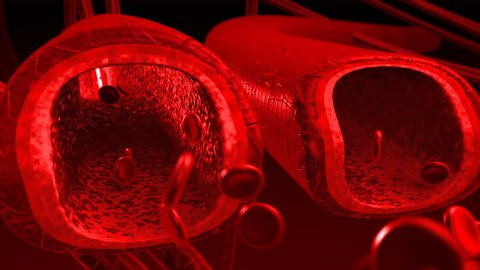 Human blood arteries and veins cut section with back light. 3 veins panning shot.
