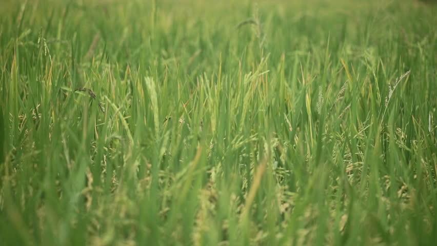 Rice field in the wind  | Shutterstock HD Video #19719634