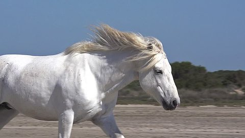 Camargue Horse Galloping on the Beach, Saintes Marie de la Mer in Camargue, in the South of France, Slow Motion