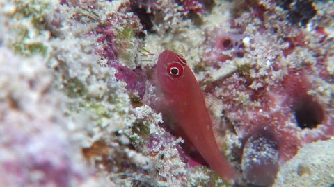 Red dwarfgoby, Trimma benjamini HD, UP19849