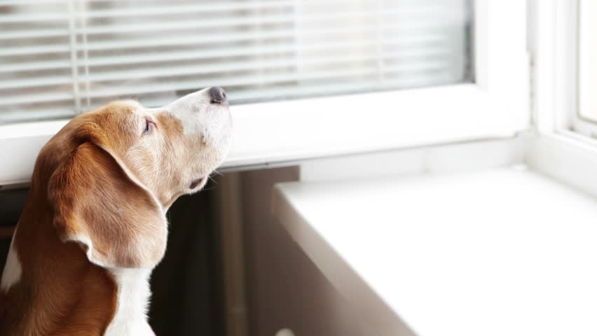 Funny beagle smelling something from the open window