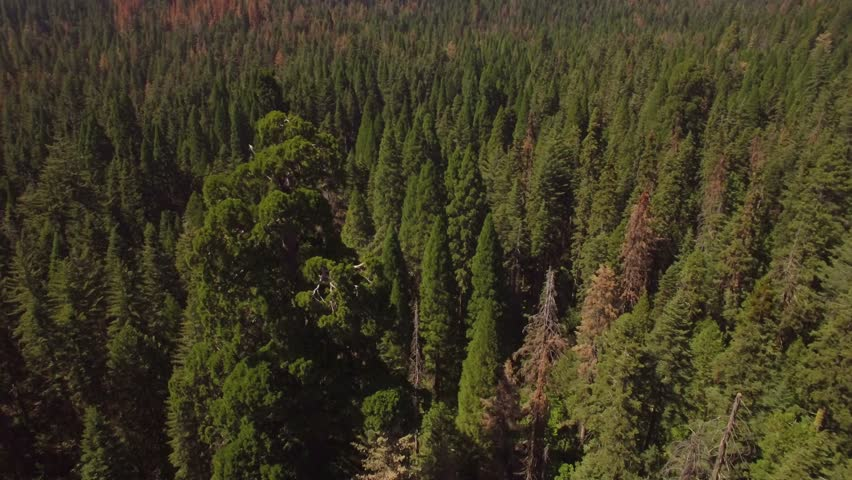Aerial shot slowly revolving around a huge sequoia tree in the Sierra National Forest. The surrounding landscape visible behind tree. Multi-colored trees; green, orange, red, yellow.