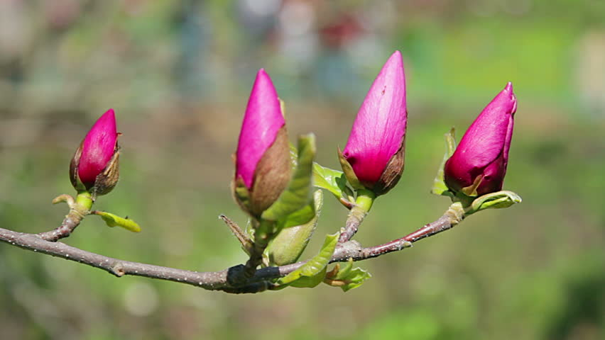 Pink Magnolia Bud Flowers Of Stock Footage Video 100 Royalty