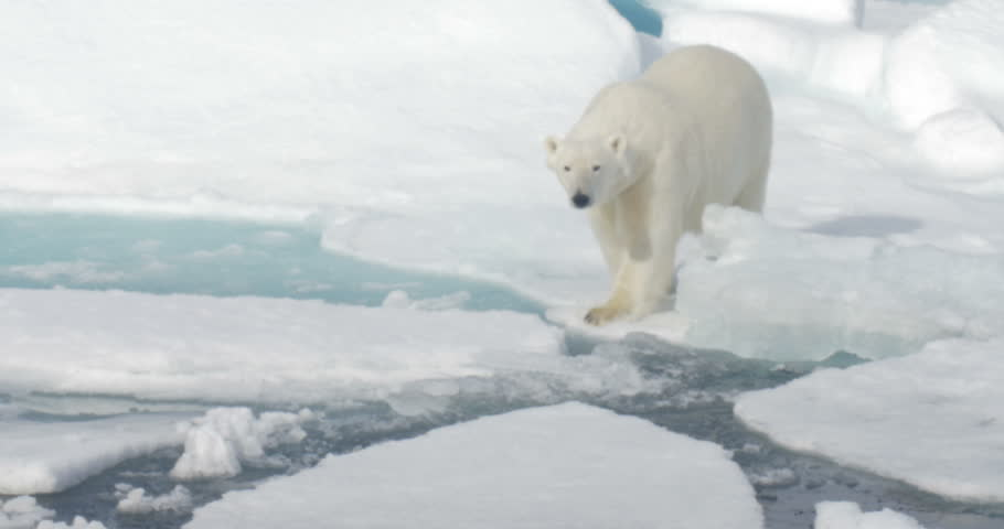 Polar Bear walking on broken sea ice  Long shot of Polar Bear walking on broken sea ice  | Shutterstock HD Video #19877764