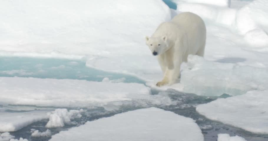Polar Bear walking on broken sea ice  Long shot of Polar Bear walking on broken sea ice  #19877764