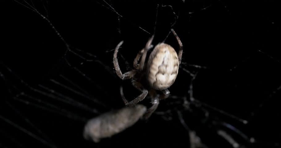 Orb-weaver Spider Catching Grey Moth in Spider Web Night, 4K