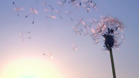 Dandelion seeds. Wind blows away dandelion seeds on sky background. Slow motion 240 fps. High speed camera shot. Full HD 1080p. Slowmo