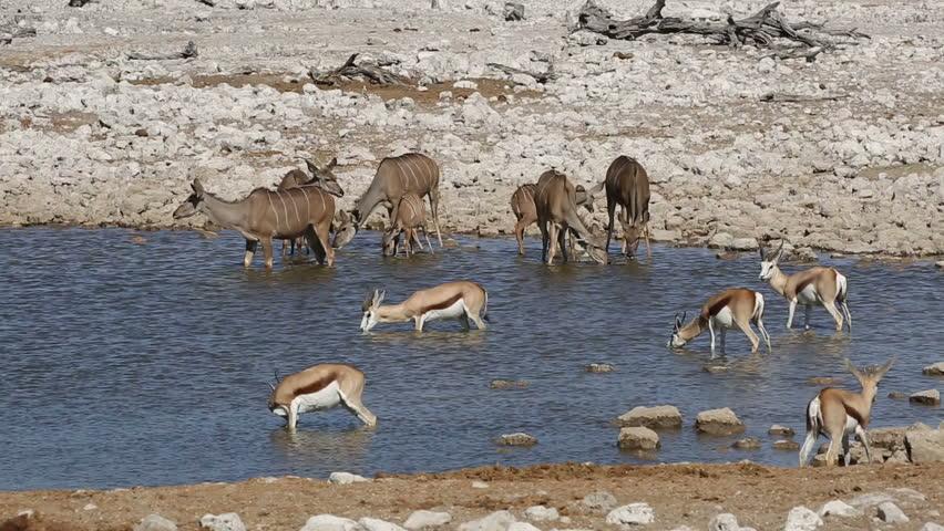 Kudu and springbok antelopes gathering at a waterhole, Etosha National Park, Namibia