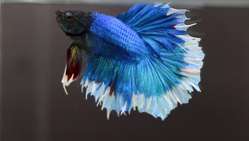 Beautiful Blue Color Half Moon Betta Fish Or Siamese Fighting Isolate Wallpaper On Black Background