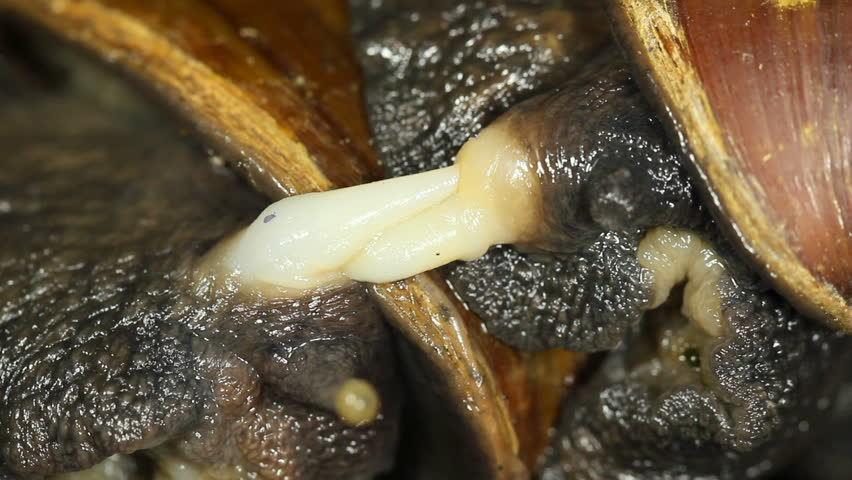 Header of Achatina fulica