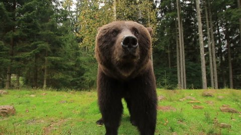 Big brown bear stands on a green glade in the forest (1080p 25 fps; handle; canon 7d Mark II, Sigma 10-20)