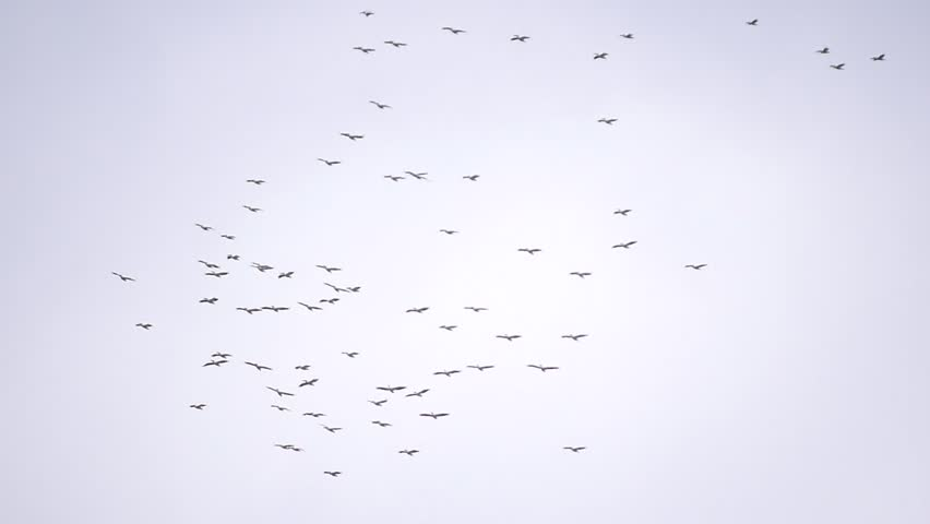 Colonies of great white pelican birds fly in the sky in formation. Pelecanus onocrotalus #20203774