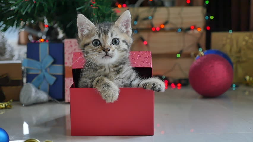 Cute tabby kitten playing in a gift box with Christmas decoration,slow motion | Shutterstock HD Video #20207566