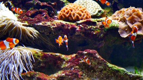 4K Bright Clown Fish in Aquarium, Natural Reef Coral and Sea Anemone, Tropical
