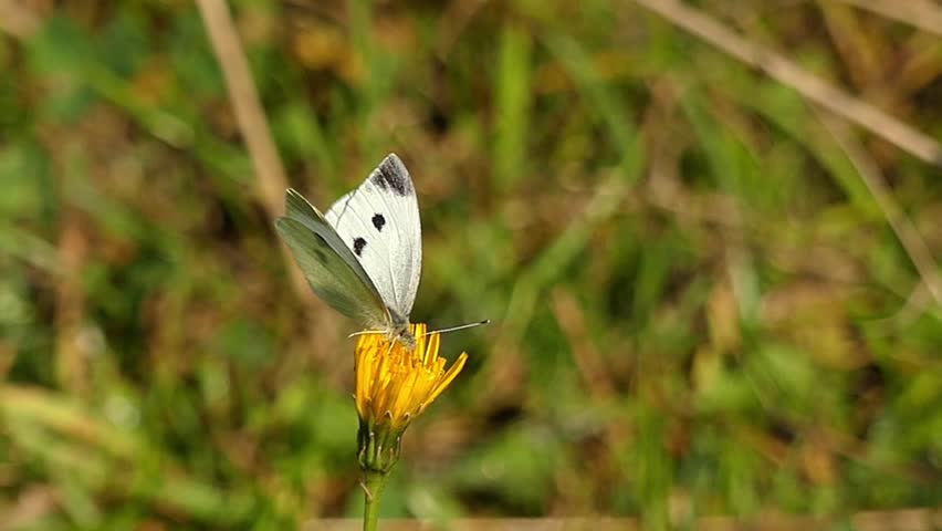 One White Butterfly Sitting on the Yellow Flower. the Action in the Slow Motion.