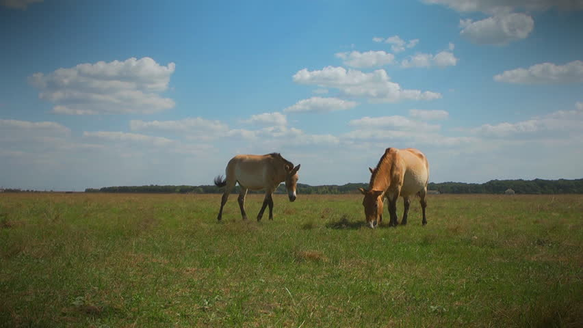 Two Przewalski's horses and foal grazing in the meadow. Ukraine, Askania Nova Reserve.