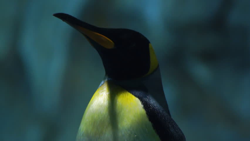 Penguin, close-up