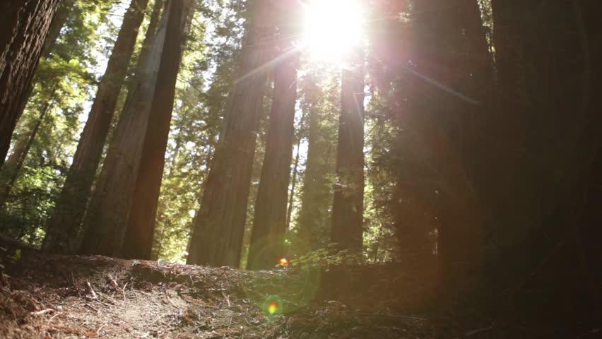 Sun breaking through pine trees | Shutterstock Video #2031496
