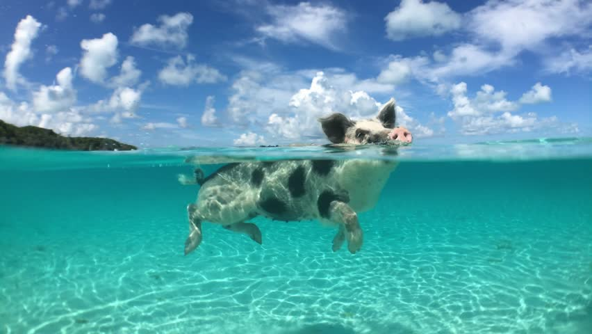 Wild, swimming piglet on Big Majors Cay in Bahamas