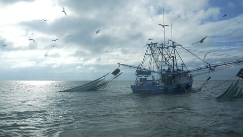 Seagulls fly around a shrimping boat trawling in the ocean.