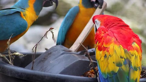 Three Beautiful Parrots, Blue and Yellow Macaw and Scarlet Macaw Playing With a Brush and Flying Away