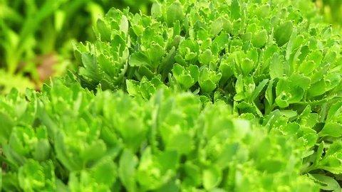 Sedum (stonecrop Spanish) close up in a summer city park.