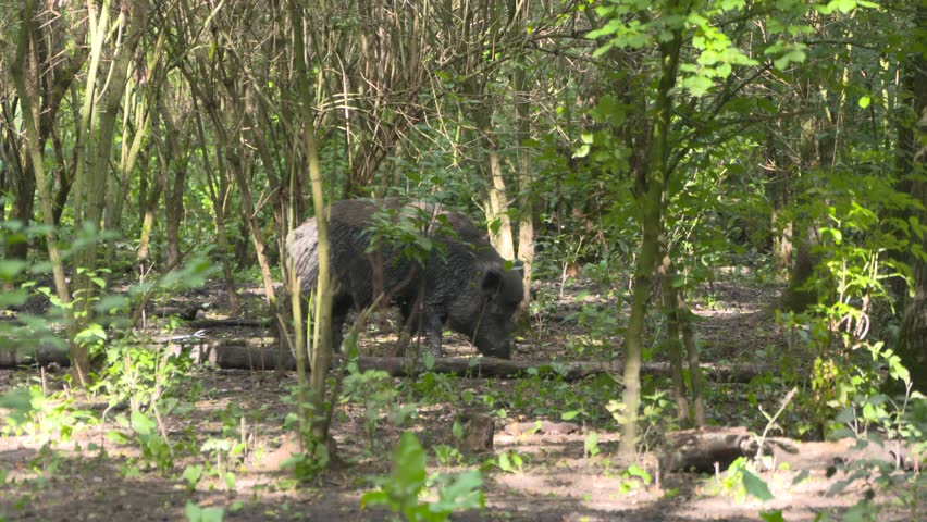 Wild Boar (sus scrofa) boar roaming in forest. When rooting around they can destroy nearly any vegetation on their path. - 4K stock video clip