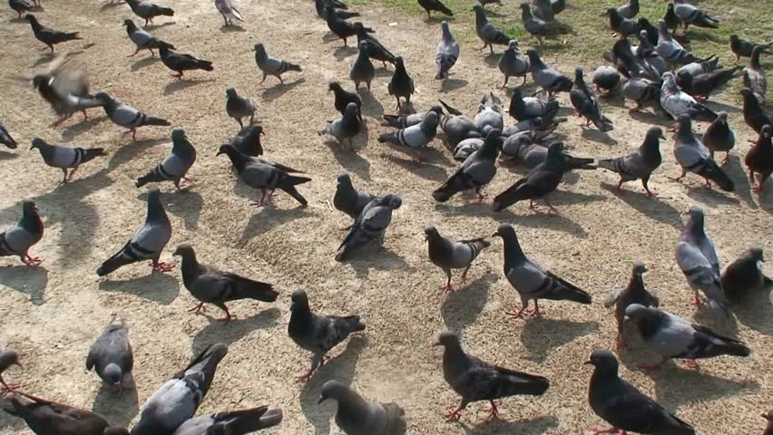 Pigeons on the side walk way, foot path are fly in to the sky