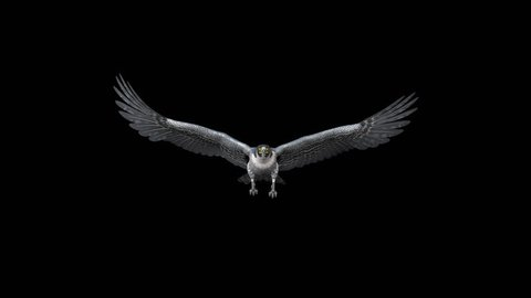 Peregrine Falcon - Flying Loop - Front Angle View - Alpha Channel - 4K - 3D animation on transparent background for naturalistic and fantasy projects.