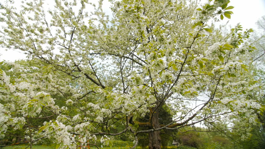 Stock video of beautiful big tree with white flowers | 20617444 ...