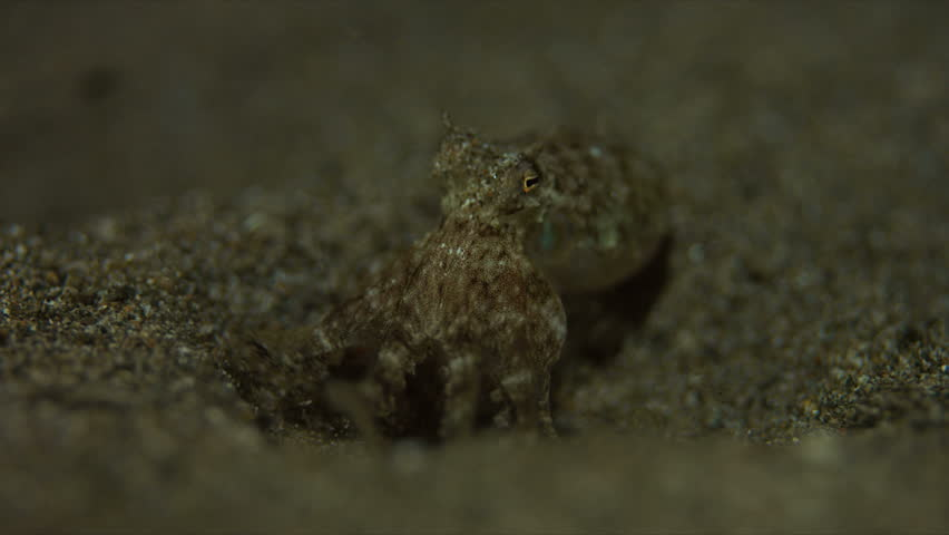 Small Octopus on sandy bottom. Catches some shrimps and fish. 4k footage #20660284