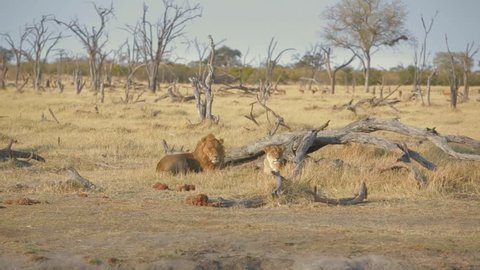 lions couple resting with impala at the background.