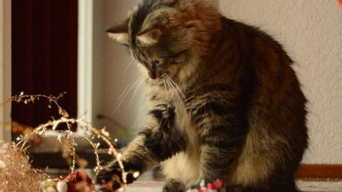 Tabby cat playing with Christmas toys and decorations