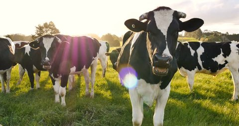 Dairy cattle cow farming
