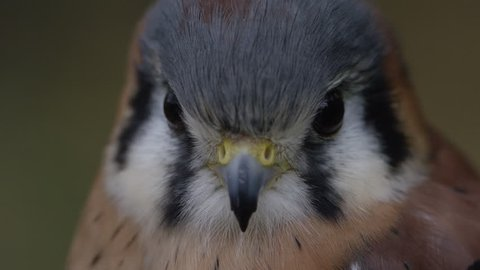 [Kestrel tilt from face to feathers]Kestrel tilt from face to feathers