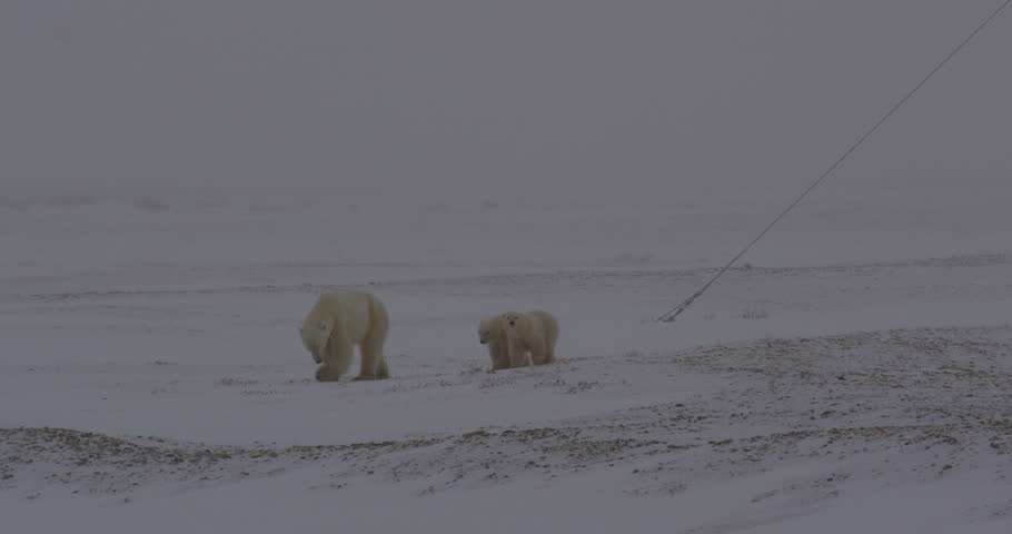 Polar bear and two babies walk through blowing snow in arctic