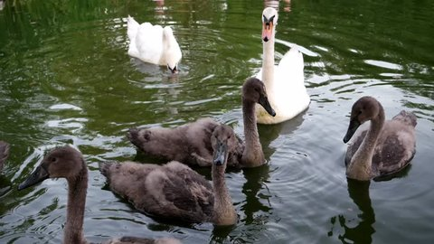 Swans with chicks swimming in the lake dive for food white and gray bird. A mute swan mother with adorable chicks are feeding in a lake.