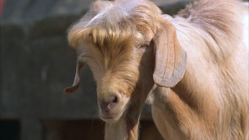 goats hair One of my goats is losing his hair its coming out in clumps and he has bald patches the skin looks grayish in color and attached to the ends of.