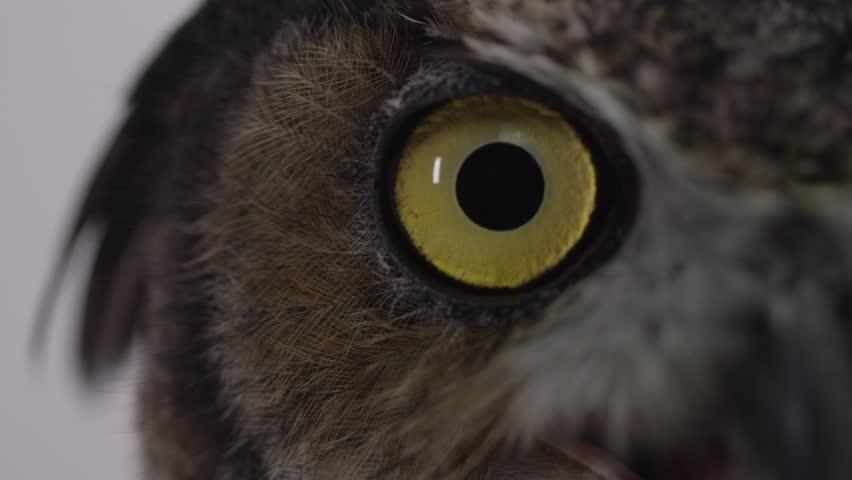 Great horned owl close up eyeball macro  #20966554