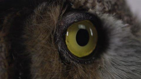 [Great horned owl macro of pupil getting bigger - eyeball close up]Great horned owl macro of pupil getting bigger - eyeball close up