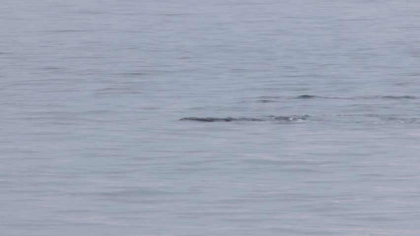An endangered north Atlantic right whale surfaces to breath and feeds on plankton just off shore of Provincetown on Cape Cod, MA.  Its head and mouth are clearly visible.
