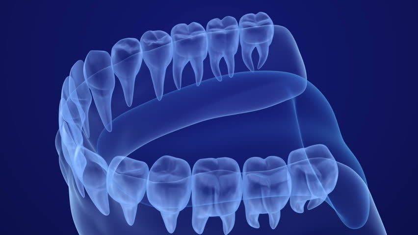 Mouth gum and teeth xray view. Medically accurate tooth 3D animation