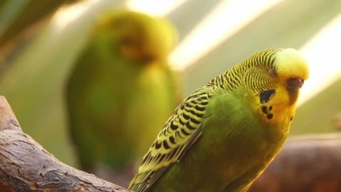 Budgerigar (Melopsittacus undulatus), also known as common pet parakeet or shell parakeet and informally nicknamed budgie, is small, long-tailed, seed-eating parrot, in Australian genus Melopsittacus